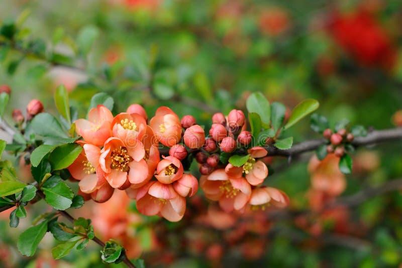 Макрос крупного плана цветков и бутонов айвы стоковые изображения rf