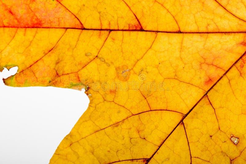 Макрос кленового листа осени стоковые изображения rf