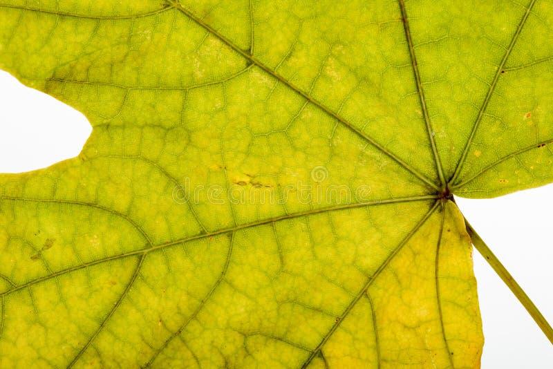 Макрос кленового листа осени стоковое изображение