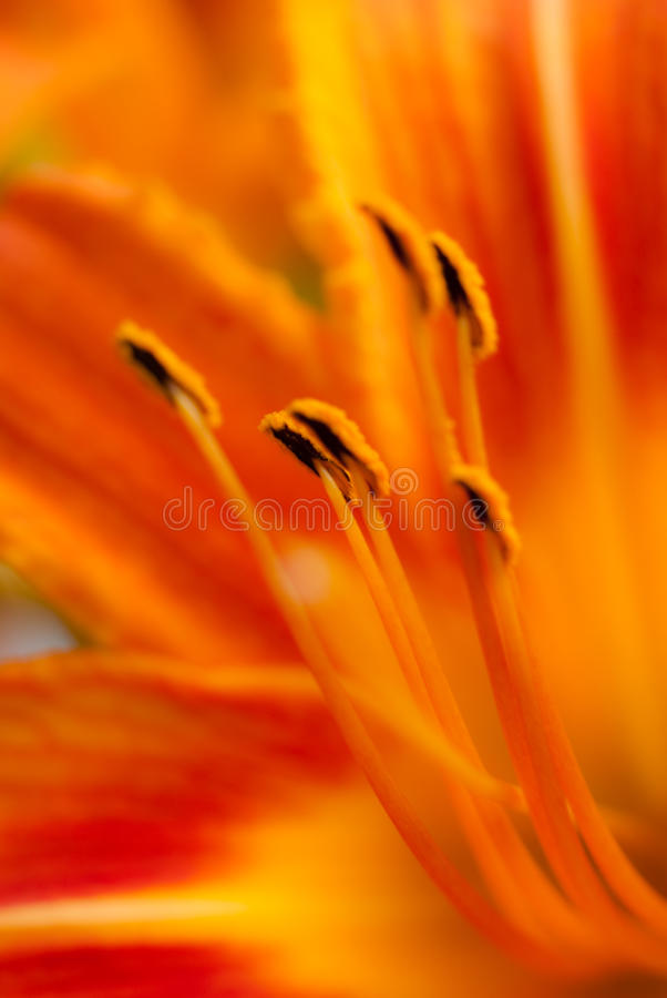 макрос лилии стоковое фото rf