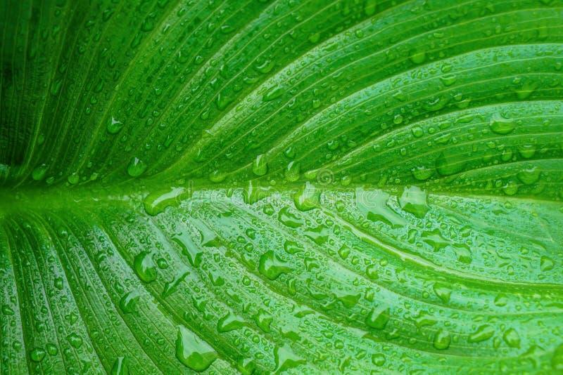 Макрос лист лилии Arum с падениями воды от росы утра Красивая естественная предпосылка с космосом экземпляра стоковое фото