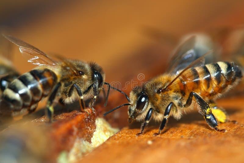макрос меда пчелы стоковое фото