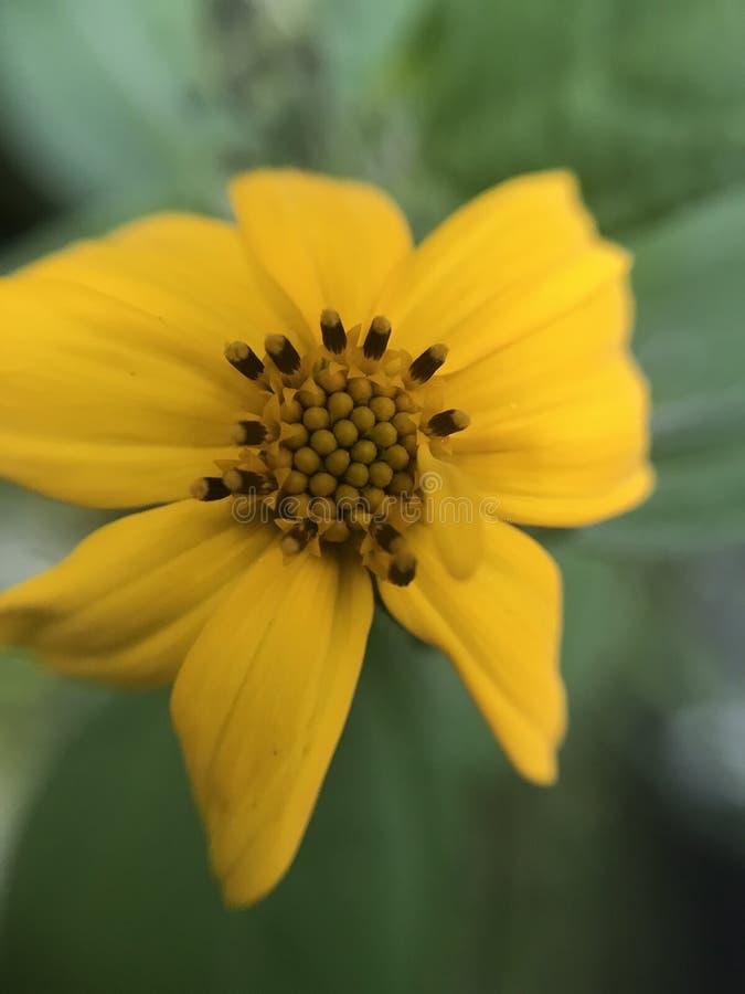 Макрос меньший цветок в Мексике стоковая фотография rf