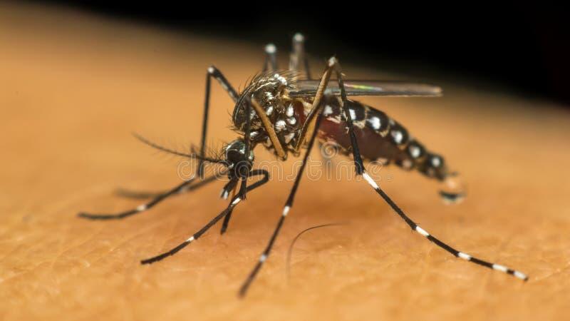 Макрос москита (aegypti Aedes) всасывая кровь стоковая фотография