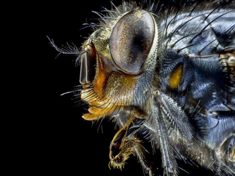 Макрос муха, большое насекомое, взгляд со стороны, большой конец изверга вверх стоковое изображение