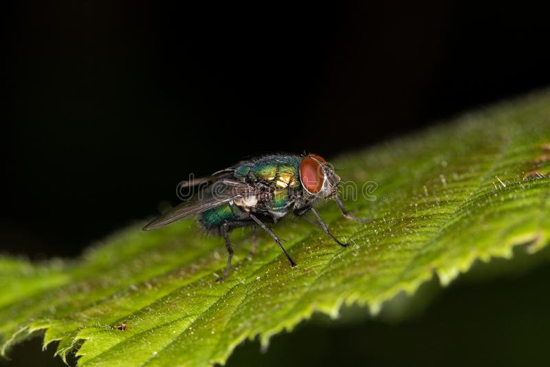 Макрос - муха bluebottle стоковые изображения rf