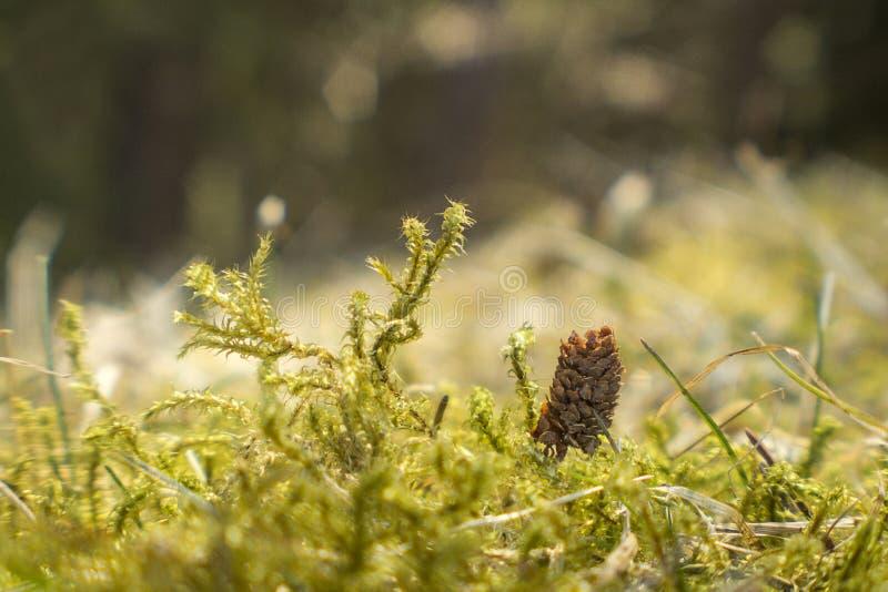 Макрос мха Миниатюрный конус сосны в мхе стоковое фото