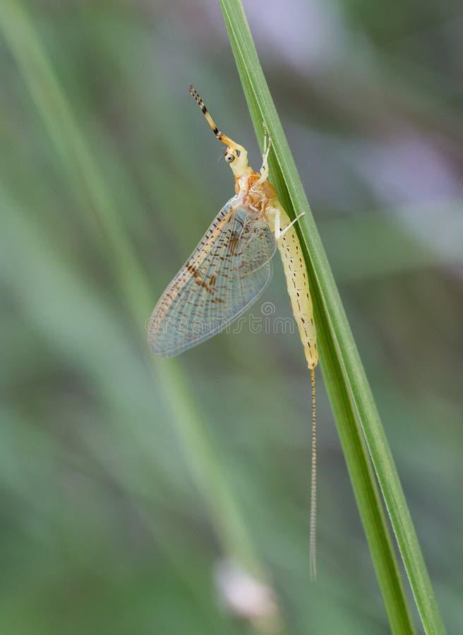 Макрос насекомого: Danica Ephemera стоковые изображения