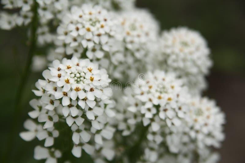 Макрос на белом цветке с предпосылкой нерезкости стоковое фото rf