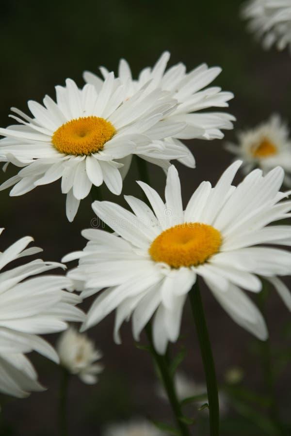 Макрос на белом цветке с предпосылкой нерезкости стоковые изображения