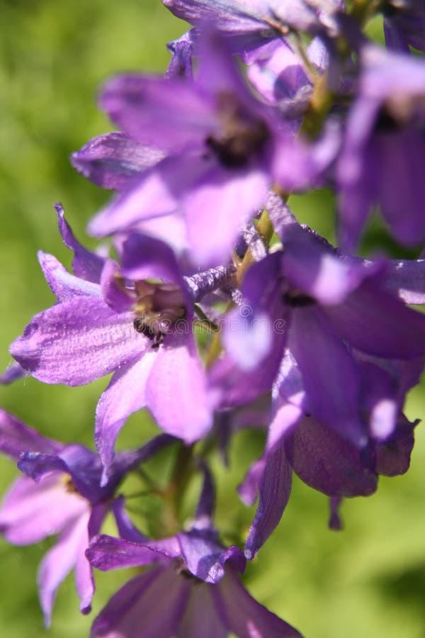 Макрос на пурпурном цветке с предпосылкой нерезкости стоковая фотография rf