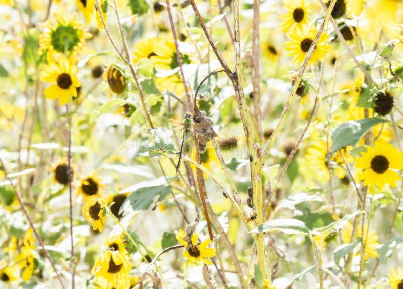 Макрос общего зеленого более Darner junius Anax в одичалых солнцецветах стоковые изображения rf