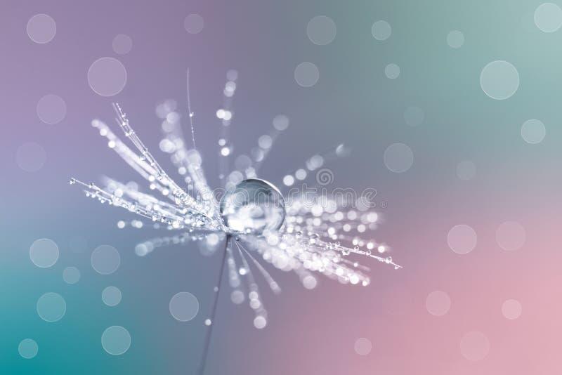 Макрос одуванчика с водой падает на пестротканую предпосылку Семена одуванчика с падениями росы стоковая фотография