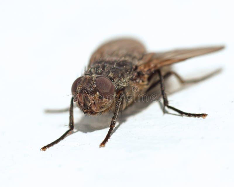 Макрос домашней мухы стоковое фото