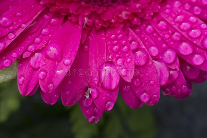 Макрос падений воды от росы утра отдыхая на лепестках красивого темного розового цветка Gerbera E стоковые фото