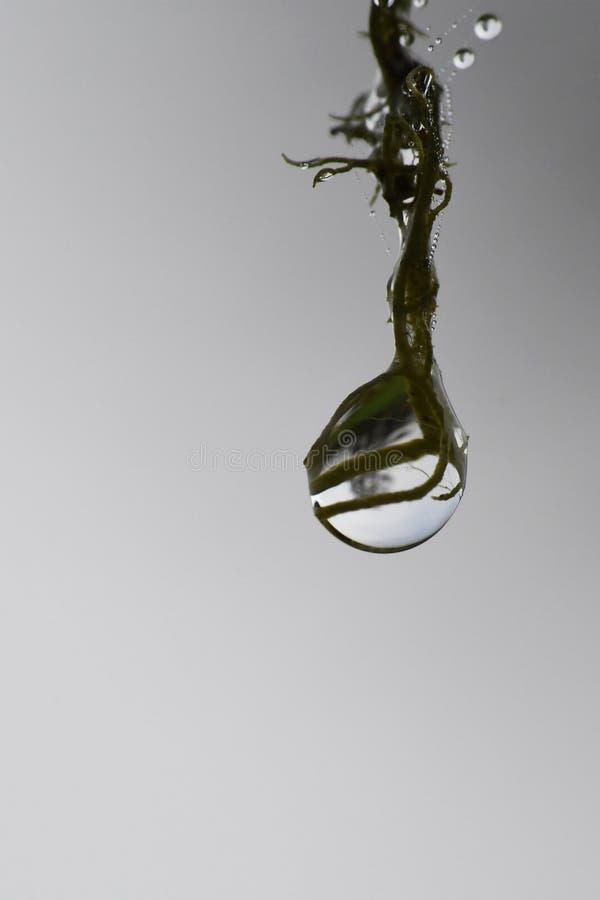 Макрос падения росы на стренге лишайника стоковое фото