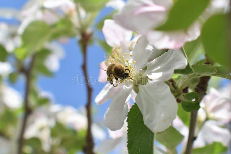 Макрос пчелы меда в весеннем времени, белые цветки цветения яблока закрывает вверх, пчела собирает цветень и нектар Бутоны яблони стоковые изображения rf