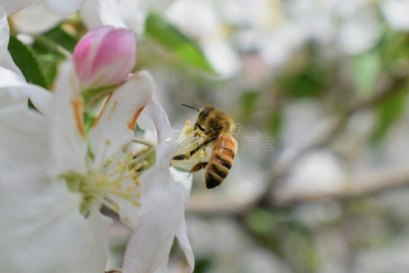 Макрос пчелы меда в весеннем времени, белые цветки цветения яблока закрывает вверх, пчела собирает цветень и нектар Бутоны яблони стоковые фото
