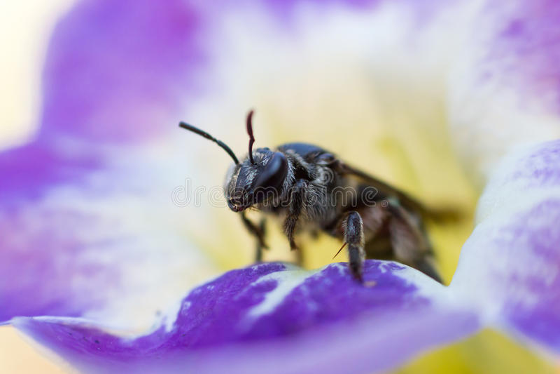 Макрос пчелы меда стоковая фотография