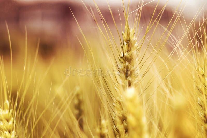 Макрос пшеницы стоковые фотографии rf