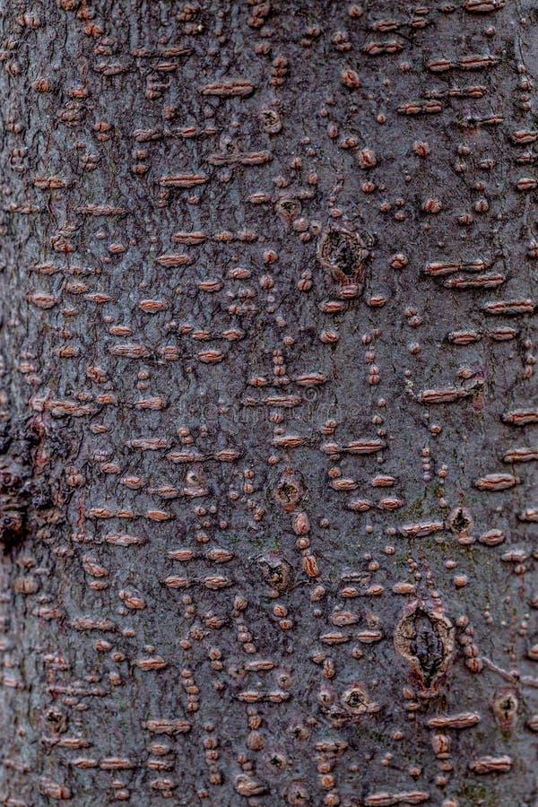 Макрос расшивы вишни стоковое изображение rf
