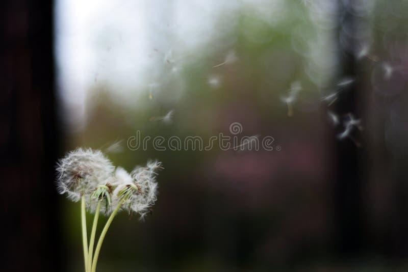 макрос света одуванчика предпосылки над семенами фото стоковое фото