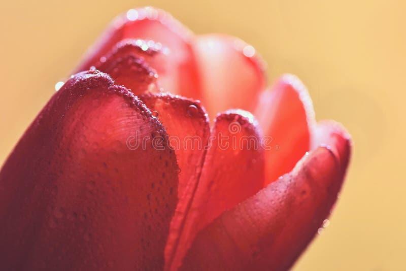 Макрос снял падений воды на цветке тюльпана стоковое изображение