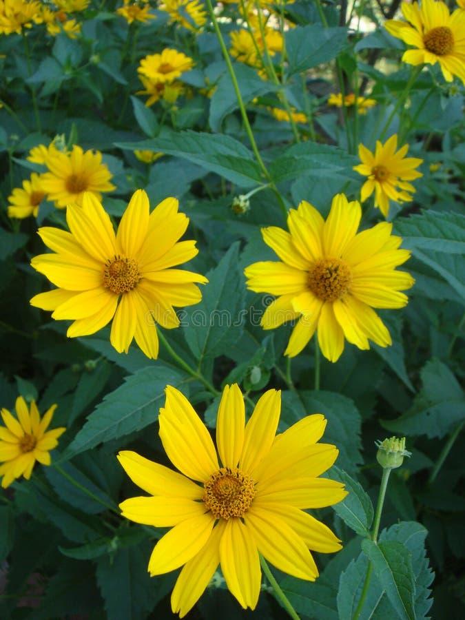 Макрос снял maxican солнцецвет, желтую предпосылку цветка стоковая фотография