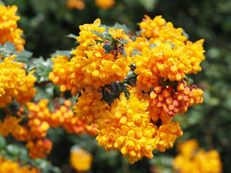 Макрос снятый желтых цветков Mahonia на солнечный день стоковое фото rf