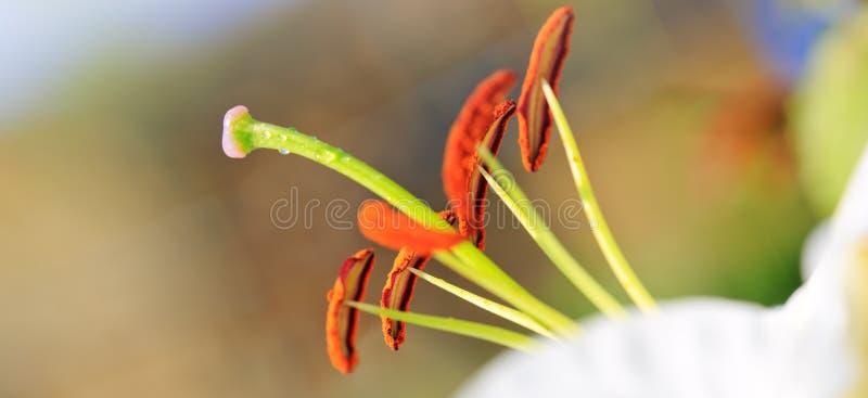 Макрос снятый на белой лилии стоковое фото