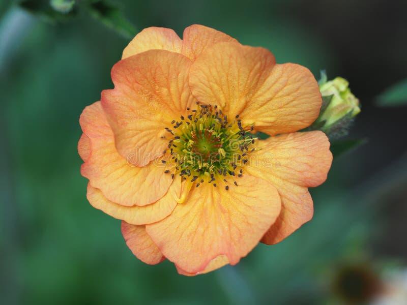 Макрос снятый одиночного оранжевого цветка Geum стоковое изображение rf