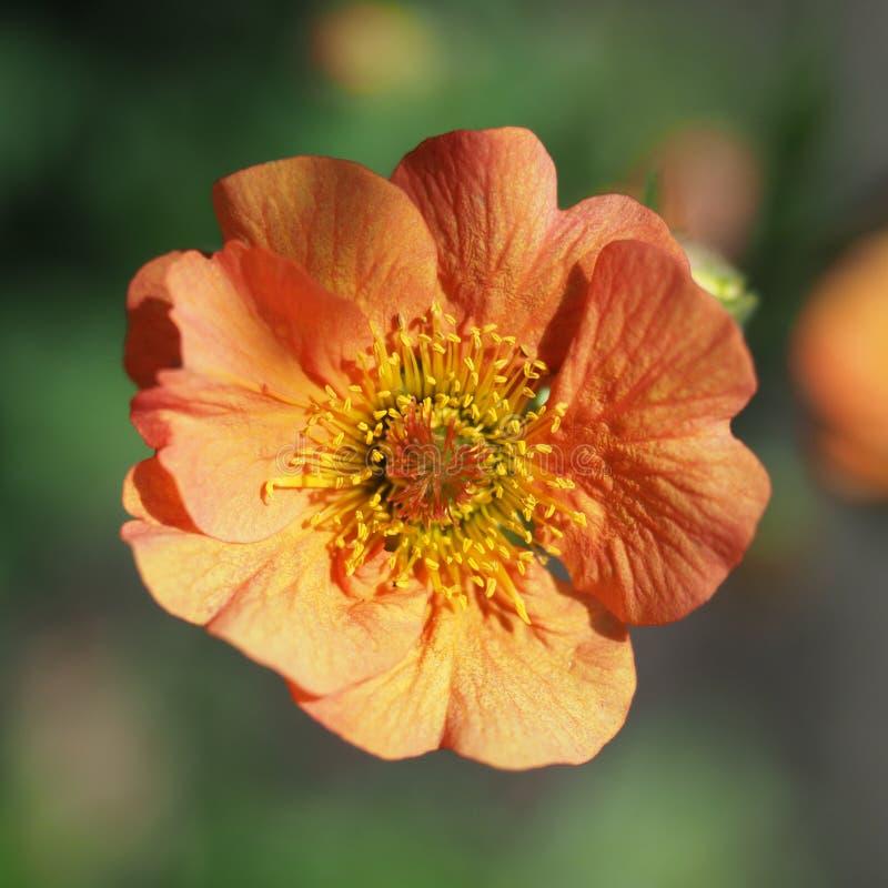 Макрос снятый одиночного оранжевого цветка Geum на солнечный день стоковое изображение rf