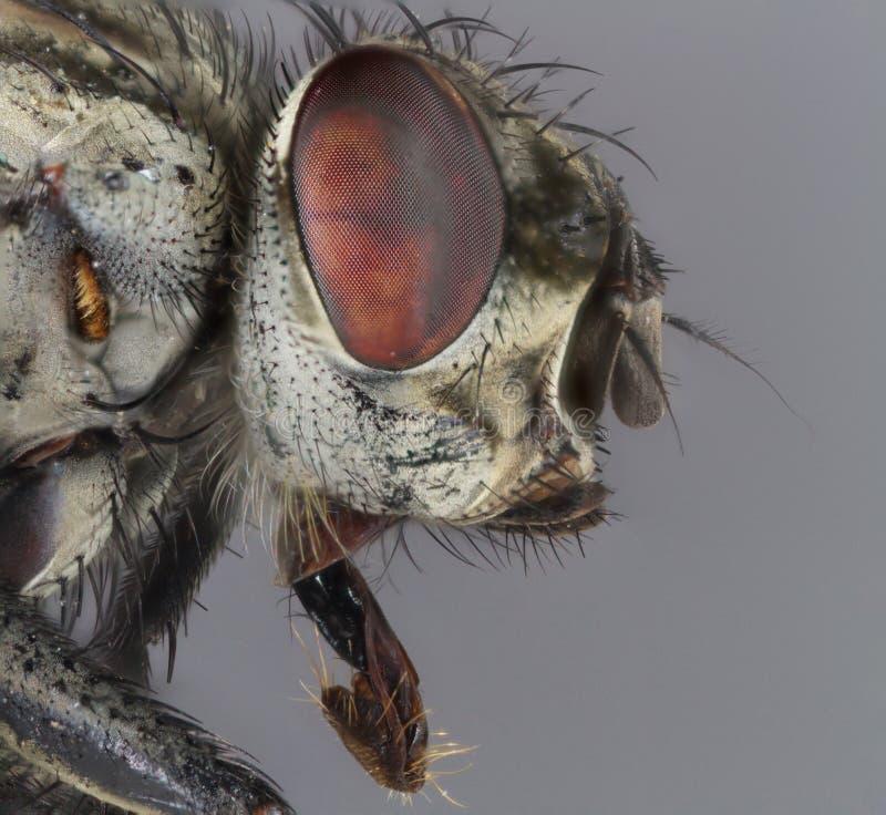 Макрос снятый отечественной мухы стоковые фотографии rf