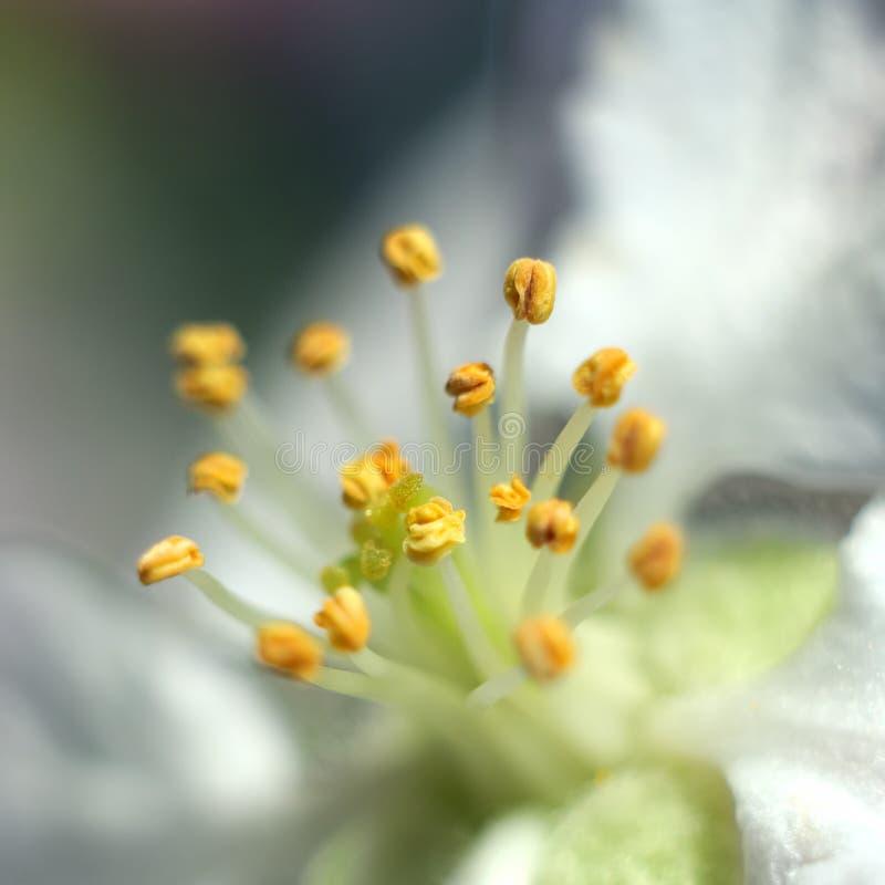 Макрос снятый цветка яблони стоковые фотографии rf