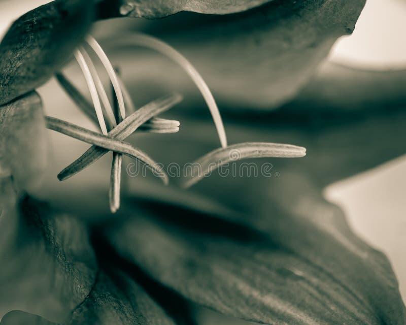 Макрос тычинки лилии в monochrome стоковые фото