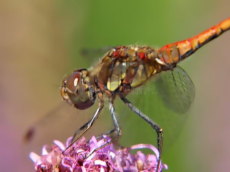 Макрос усмехаясь dragonfly вереска сидя на цветке стоковое фото rf