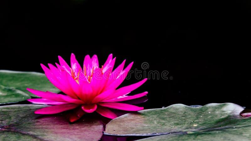 Макрос фото снял на пчеле роясь на цветке лотоса, красивом фиолетовом цветке лотоса с зелеными лист в пруде стоковое изображение rf
