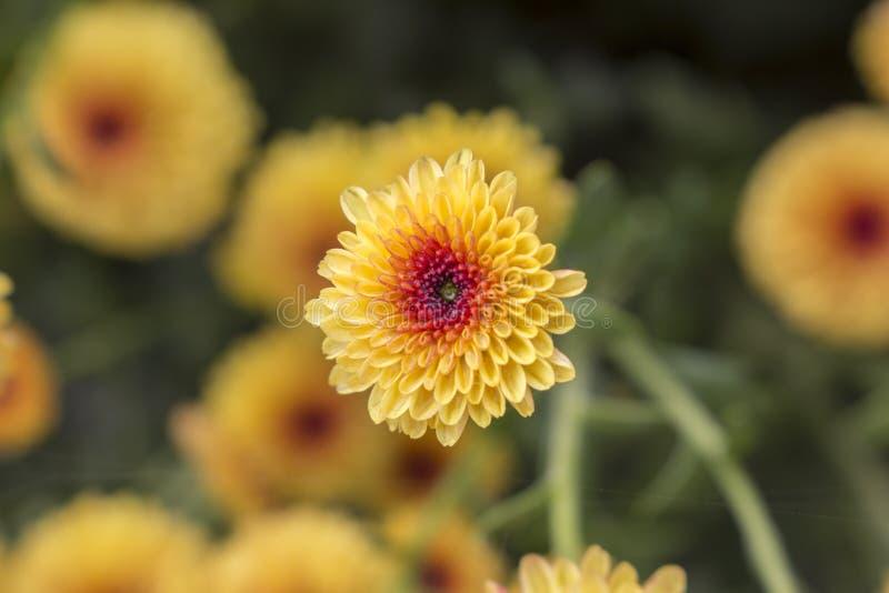 Макрос цветка хризантемы одиночного леденца на палочке желтого полностью зацветает с падениями воды от росы утра предпосылка расп стоковое фото