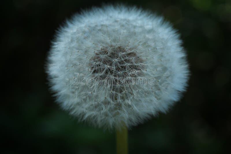 Макрос цветка Blowball стоковая фотография rf
