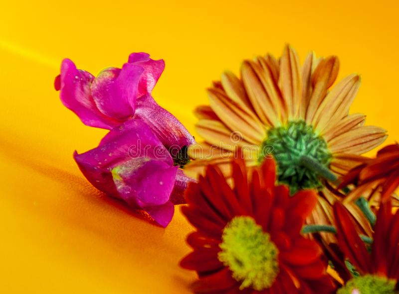 Макрос цветка Gerber стоковое изображение rf