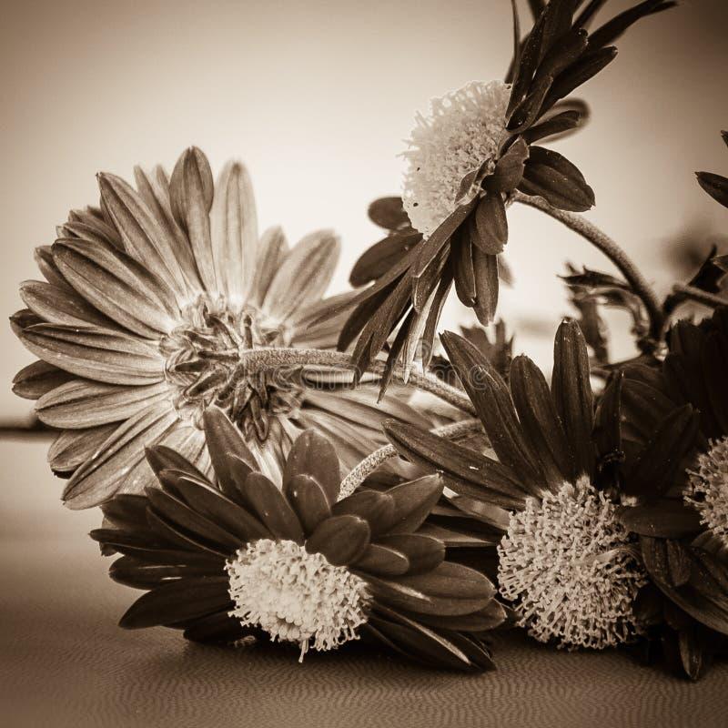 Макрос цветка Gerber стоковые изображения rf