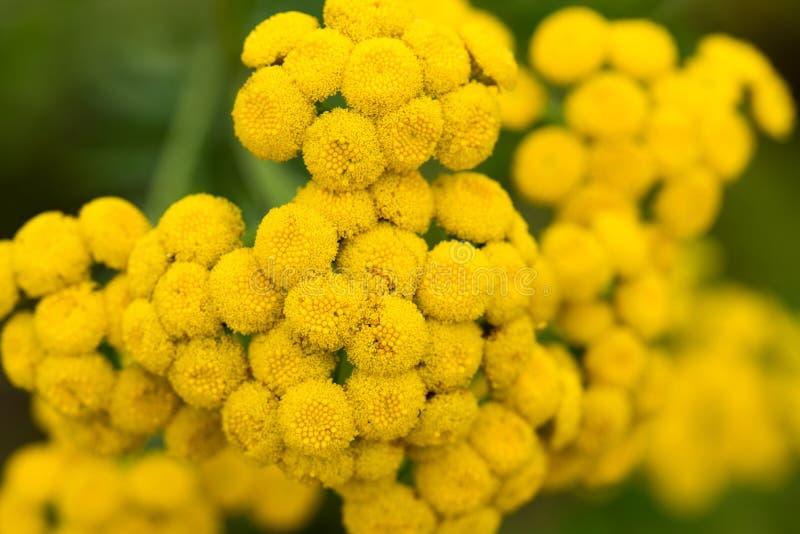 Макрос цветков vulgare Tanacetum пижмы желтый стоковые изображения rf