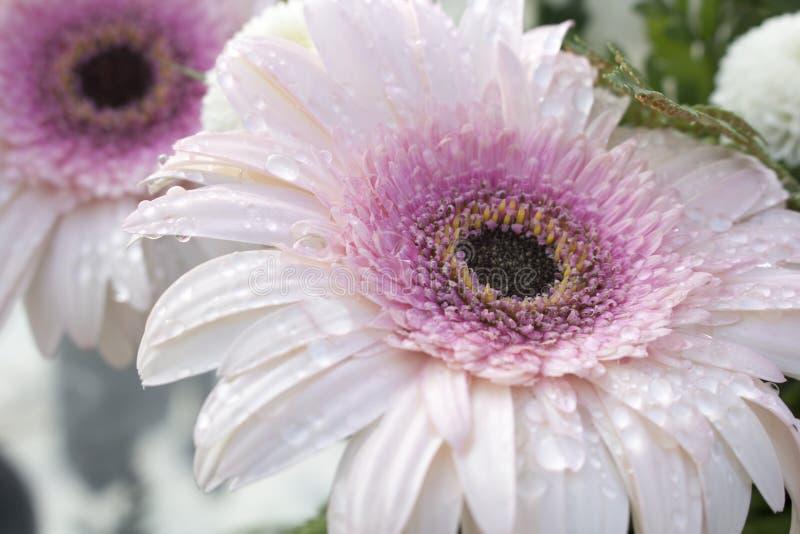 Макрос центра мягкого розового цветеня цветка Gerbera полностью предусматриванного в падениях воды от росы утра E стоковое изображение