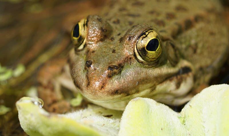 Макрос лягушки стоковая фотография