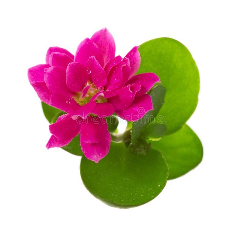 Макрос яркого розового цветка Kalanchoe изолированного на белизне стоковое фото