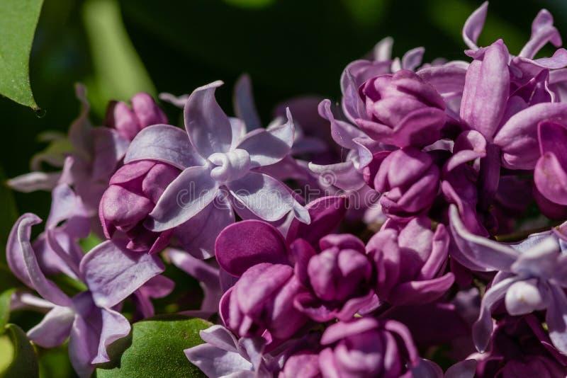 Макрос blossoming сирени стоковые фотографии rf