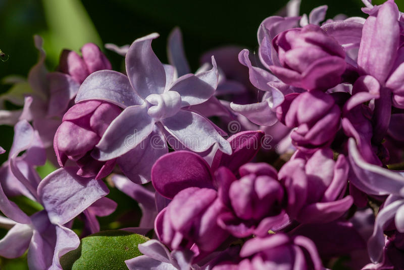 Макрос blossoming сирени стоковая фотография rf