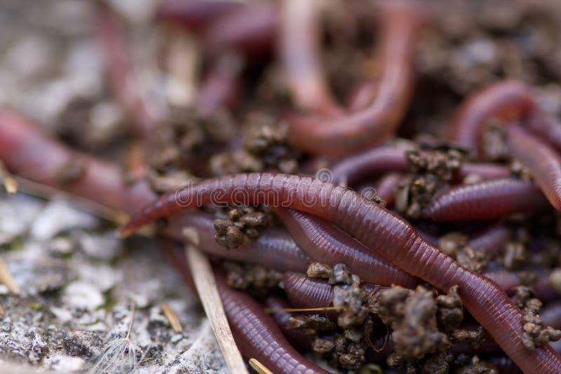 макрос earthworms стоковые фото