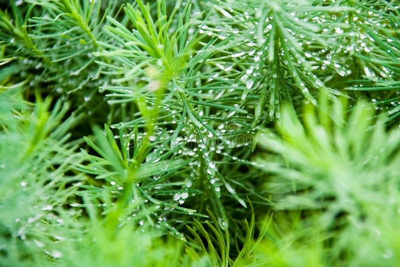 макрос evergreen росы стоковые фотографии rf