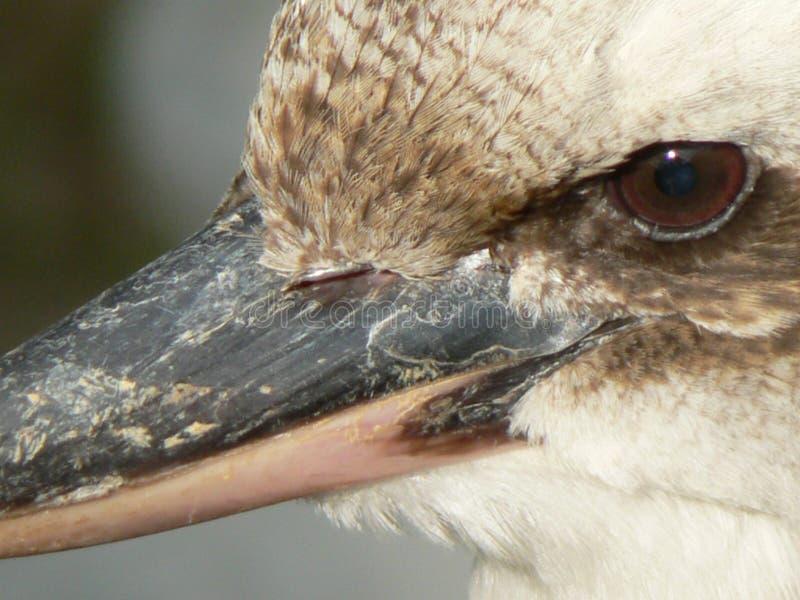 Макрос Kookaburra стоковые изображения